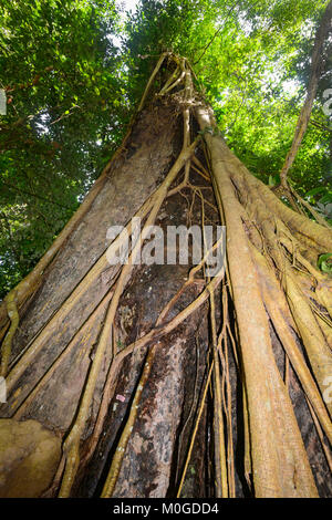 Dipterocarp tree with exposed roots in primary rainforest, Danum Valley Conservation Area, Borneo, Sabah, Malaysia - Stock Photo
