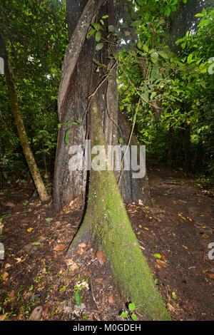 Tall Tree with buttress roots in primary rainforest, Danum Valley Conservation Area, Borneo, Sabah, Malaysia - Stock Photo