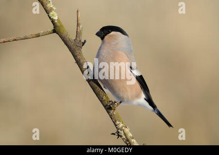 Female eurasian (common) bullfinch (Pyrrhula pyrrhula) in the rays of the rising sun (sitting on the branch with - Stock Photo