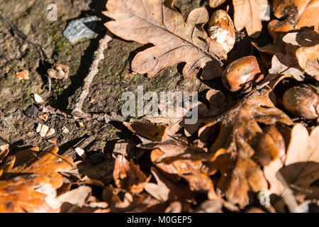 Oak leaves and acorns on the ground in autumn - Stock Photo