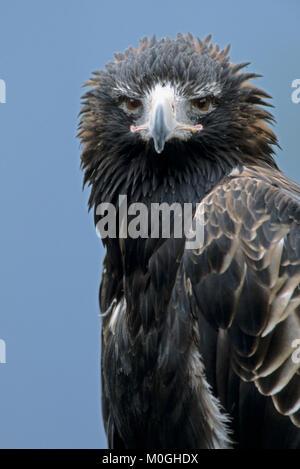 Wedge-tailed Eagle / (Aquila audax)   Keilschwanzadler / (Aquila audax) - Stock Photo