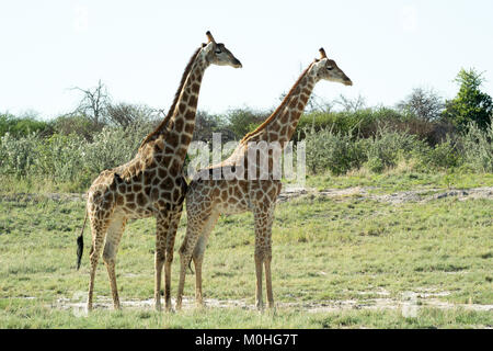 Dominant male Giraffe standing behind female Giraffe near waterhole - Stock Photo