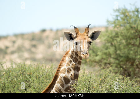 Young Giraffe looking at camera on sunny day near Windhoek, Namibia - Stock Photo