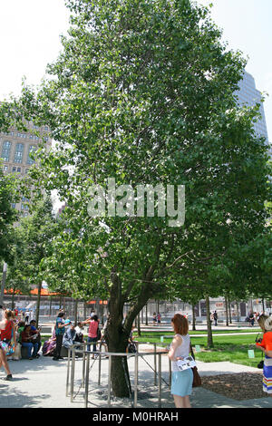 The Callery Pear 'Survivor Tree', the only tree that survived 9/11, at the 9/11 Memorial and Museum Plaza, July - Stock Photo
