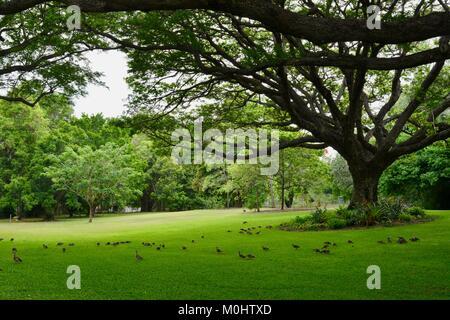 Flock of Plumed Whistling-Ducks (Dendrocygna eytoni) under a raintree, Anderson Park Botanic Gardens, Townsville, - Stock Photo