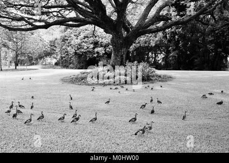 Flock of Plumed Whistling-Ducks (Dendrocygna eytoni) under a raintree, Anderson Park Botanic Gardens, Townsville, - Stock Photo