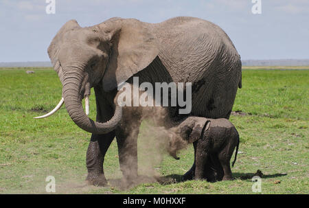 African Elephant (Loxodonta africana) and day old calf having a dust bath. Amboseli.Kenya - Stock Photo