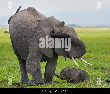 Day old elephant mother and calf struggling through swamp - Stock Photo