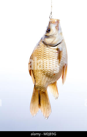 Crucian golden carp on a fishing line tackle, fisherman catch concept. Beautiful decorative golden Carassius against - Stock Photo