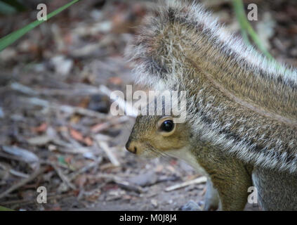 Squirrel with fluffy tail in garden setting - Stock Photo