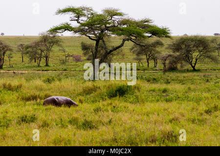 The common hippopotamus (Hippopotamus amphibius), or hippo, is a large, mostly herbivorous, semiaquatic mammal native - Stock Photo