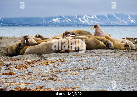 Group of Walruses (Odobenus rosmarus) adults hauled out to rest on dry land on Arctic coast in summer 2017. Spitsbergen - Stock Photo