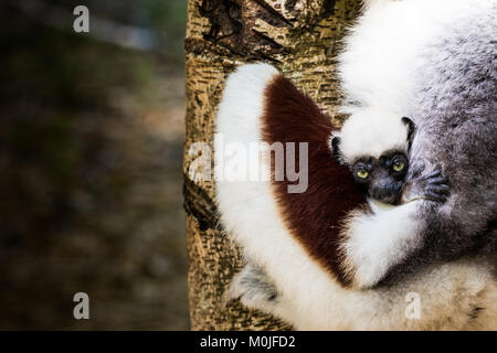 A Sifaka lemur puppy feels safe hugging his mother in a  Madagascar reserve - Stock Photo