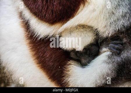 A Sifaka lemur puppy sleeps hugged at his mother - Stock Photo