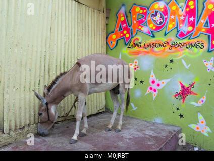 Donkey in front of a perfumery in the streets of Lamu Town, Lamu island, Kenya - Stock Photo