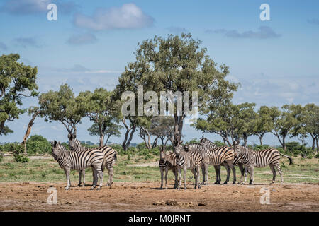 Burchell's Zebras (Equus burchelli), herd in landscape with trees, Savuti, Chobe National Park, Chobe District, - Stock Photo