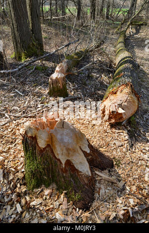 Fallen down tree, traces of European beaver (Castor fiber), Tyrol, Austria - Stock Photo