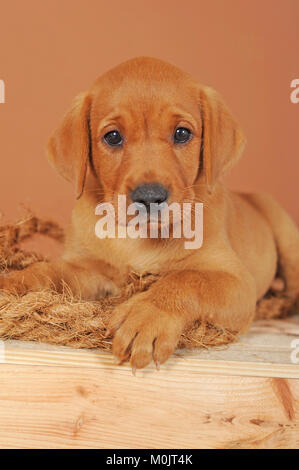 Labrador Retriever, yellow, puppy 7 weeks old - Stock Photo