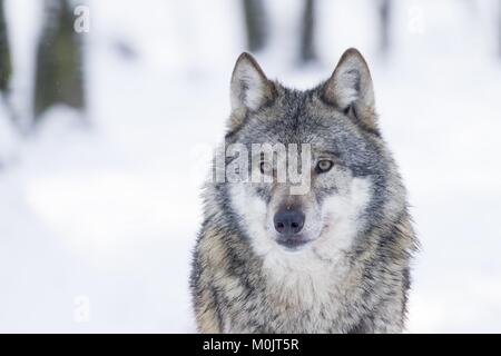 Gray wolf (Canis lupus) in winter, portrait, captive, Germany - Stock Photo