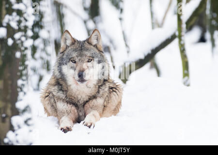 Gray wolf (Canis lupus) lies in the snow, captive, Germany - Stock Photo