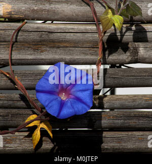 Single intense blue morning glory flower on a vine with two leaves against an old wooden fence - Stock Photo