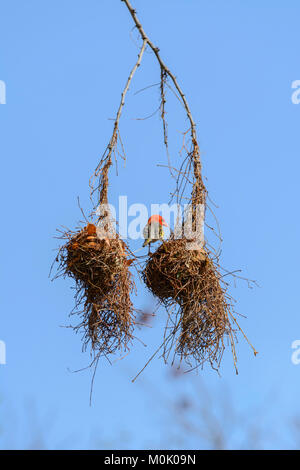 Red-headed Weaver bird (Anaplectes rubriceps rubriceps) making a nest in Kruger National Park, South Africa - Stock Photo