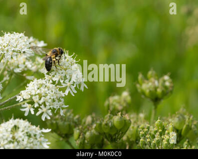 Solitary mining bee (Andrena bicolor) on cow parsley (Anthriscus sylvestris) flower - Stock Photo