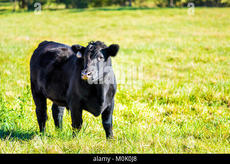 One black young cow, calf closeup grazing on pasture, green grass in Virginia farms countryside meadow field - Stock Photo