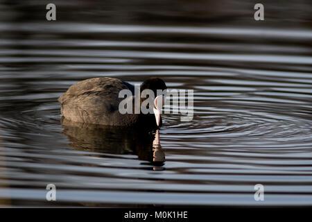 Single adult coot, Fulica atra, swimming on lake, UK - Stock Photo
