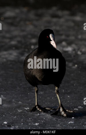 Single adult coot, Fulica atra, standing on frozen lake in UK - Stock Photo