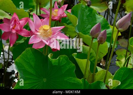 Pink lilies in full bloom, Anderson Park Botanic Gardens, Townsville, Queensland, Australia - Stock Photo