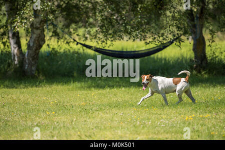 Seven-year-old Danish Swedish Farmdog playing fetch during summer in Sweden. - Stock Photo