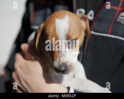 Cute two months old Danish Swedish Farmdog puppy. This breed, which originates from Denmark and southern Sweden - Stock Photo