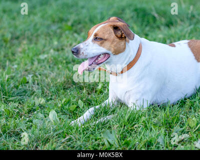 Five-year-old Danish Swedish Farmdog resting on a lawn. This breed, which originates from Denmark and southern Sweden - Stock Photo