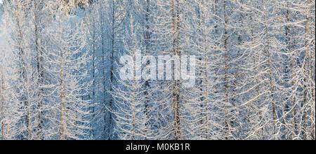 Low angle afternoon sunlight casts warm light on snow-covered Cottonwood trees, Turnagain Pass, Kenai Peninsula, - Stock Photo