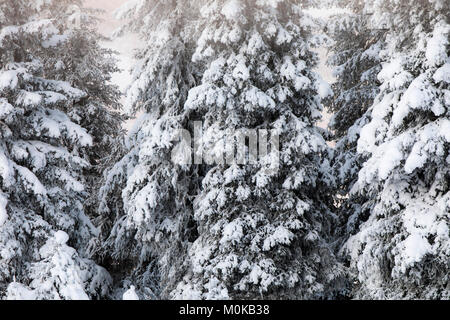 A dense stand of spruce trees holds a dusting of fresh snow, Turnagain Pass, Kenai Peninsula, South-central Alaska; - Stock Photo