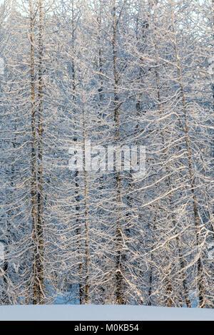 Cottonwood trees holding a fresh blanketing of snow, warm sunlight glowing on them, Turnagain Pass, Kenai Peninsula, - Stock Photo