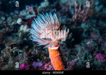 Feather Duster worm (Protula bispiralis Savigny, 1822) opning its feathers. - Stock Photo