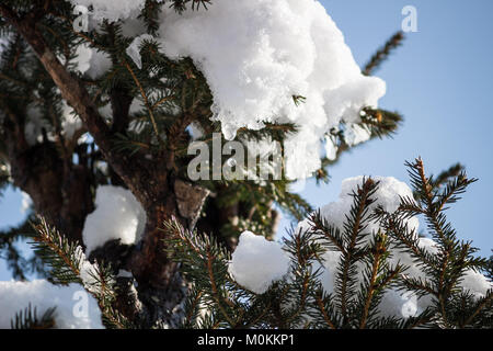 23 January 2018  Water is dropping from snow on Norway Spruce (Picea abies) - Stock Photo