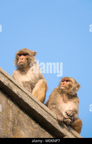 Rhesus macaque (Macaca mulatta) monkeys sit on roof at Swayambhunath temple, Kathmandu - Stock Photo