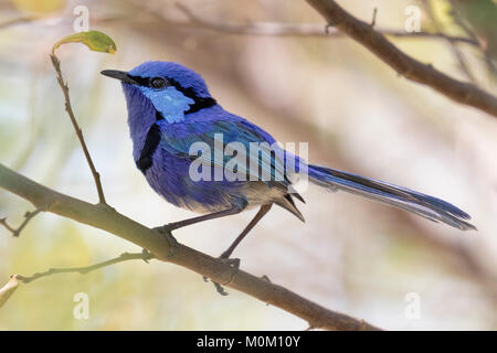 A male Splendid Fairy-wren (Malurus splendens) near Lake Joondalup, Yellagonga Regional Park, Perth, Western Australia - Stock Photo
