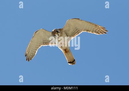 A Nankeen Kestrel (Falco cenchroides) in flight near Burns Beach, Perth, Western Australia - Stock Photo