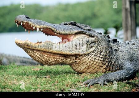 American Alligator, Everglades national park, Florida, USA / (Alligator mississippiensis) | Mississippi-Alligator, Everglades Nationalpark, Florida