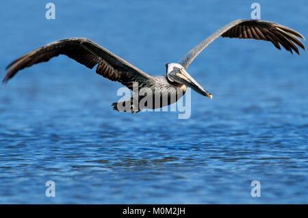 Brown Pelikan, Sanibel Island, Florida, USA / (Pelecanus occidentalis) | Braunpelikan, Sanibel Island, Florida, - Stock Photo