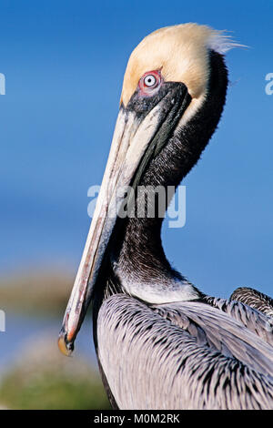 Brown Pelikan, Sanibel Island, Florida, USA / (Pelecanus occidentalis) | Braunpelikan, Sanibel Island, Florida, - Stock Photo