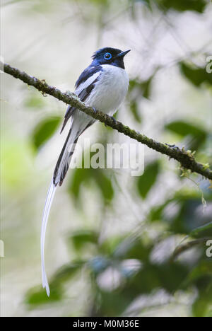 Madagascar Paradise-flycatcher - Terpsiphone mutata, Madagascar. Beautiful perching bird with extremely long tail - Stock Photo