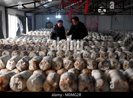 (180123) -- ZHENGZHOU, Jan. 23, 2018 (Xinhua) -- First secretary Liu Junyi (R) of Xulou Village discusses on mushroom - Stock Photo