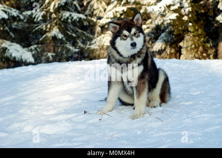 a grown Siberian husky puppy sits on the snow in the background of a blurred forest landscape - Stock Photo