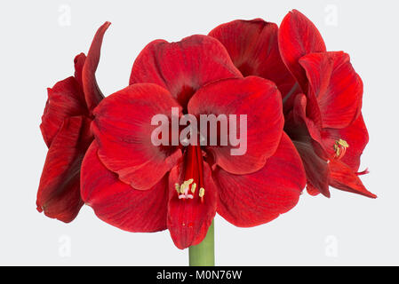 Deep red flowers from large bulb of Amaryllis, Hippeastrum spp, at Christmas - Stock Photo