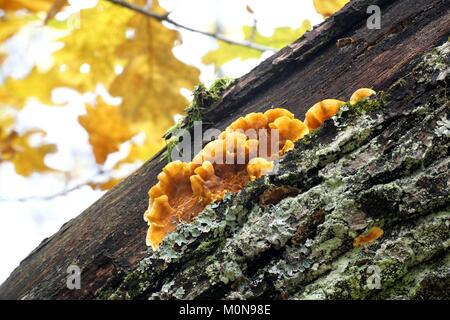 Bleeding oak crust, Stereum gausapatum - Stock Photo
